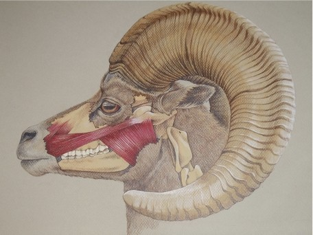 Bighorn sheep (Ovis canadensis nelsoni), colored pencil. By Marly Beyer.