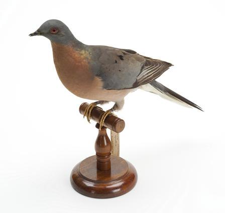 Passenger Pigeon (Ectopistes migratorius) Catalog no. 461042 © AMNH/C. Chesek