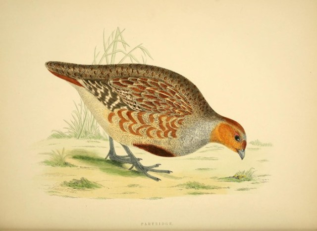 Partridge from Morris's British Game Birds and Wildfowl (1855).