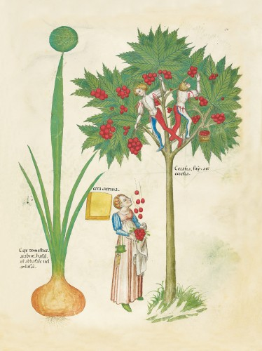 Tractatus de herbis Simon de Genoa
