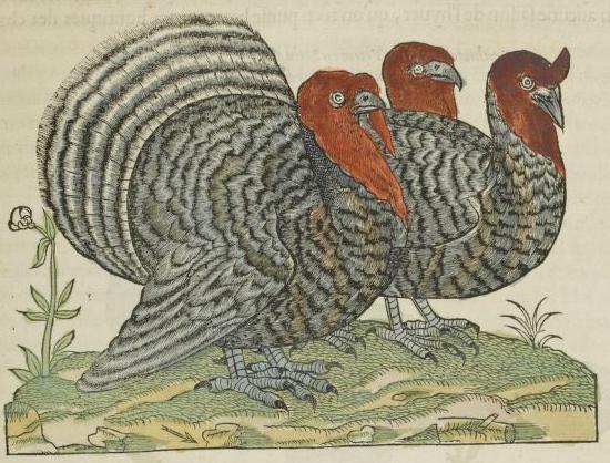 Pierre Belon du Mans, L'histoire de la nature des oyseaux, 1555: