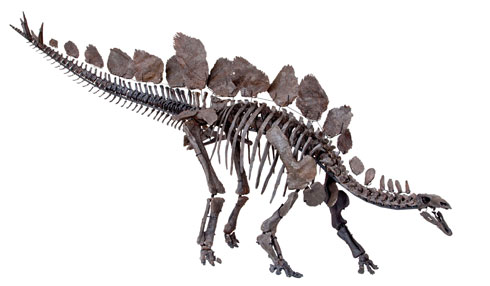 The Museum's new Stegosaurus specimen