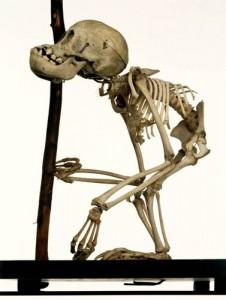 Infant orang-utan, Pongo sp. LDUCZ-Z2064