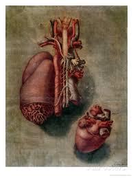 The Heart, plate from 'Anatomy of the Visceras,' by Arnaud Eloi Gautier D'Agoty, 1745