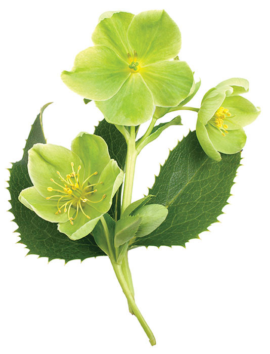 600 BC The Athenians besiege the city of Kirrha. They poison the besieged city's water supply with heart-toxic extracts of hellebore plants.