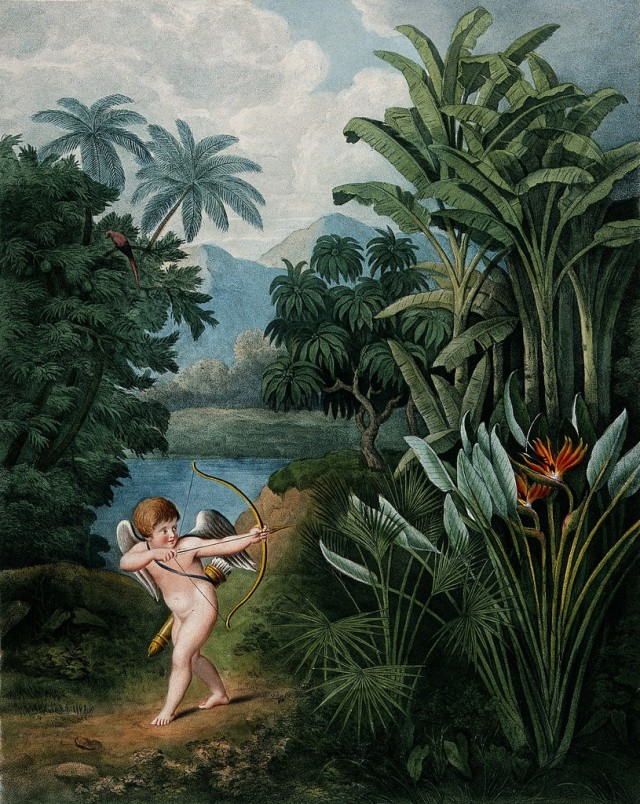"Illustration showing ""Cupid Inspiring Plants with Love"", in this case specifically the Strelitzia reginae or Queen Plant, a plate from Robert Thornton's Temple of Flora (1807) – Source: Wellcome Library."