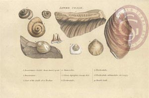 Typical fossils found in the Lower Chalk stratum Image: Geological Society