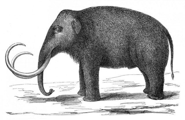 Scientists still don't know what killed off the woolly mammoth. But the latest theory suggests it had to do with their diet of little yellow flowers. (Photo: Shutterstock)