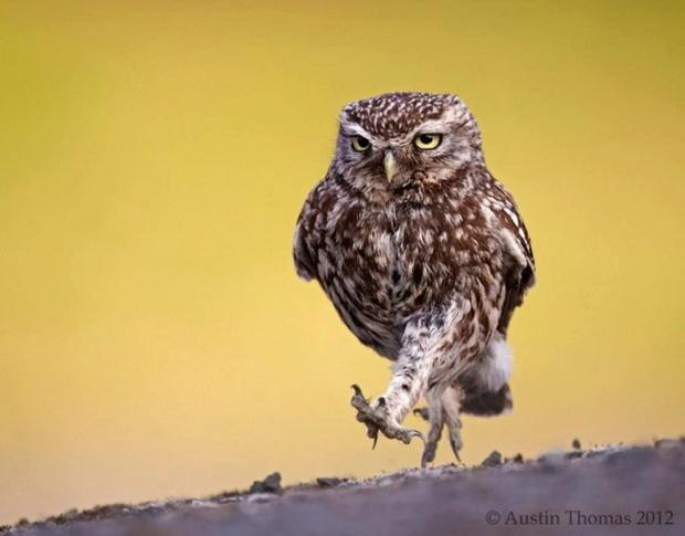 Strutting Owl