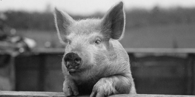 Our understanding of endorphins can be traced back to the head of a pig. (Boston Public Library, Leslie Jones Collection)