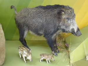 Wild boar on exhibit at the Latvian Museum of Natural History, Riga.