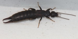 Unidentified species of Earwig, order Dermaptera, possibly Forficulidae, by JonRichfield,Wikimedia Commons