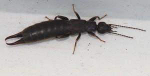 Unidentified species of Earwig, order Dermaptera, possibly Forficulidae, by JonRichfield,Wikimedia Commons