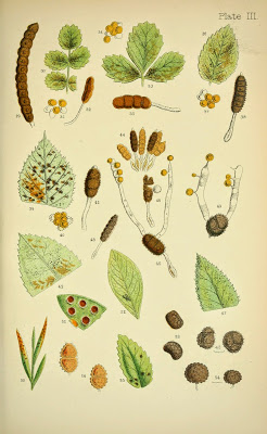 Fig. 2. Symptoms and spore diversity of rust fungi from Rust, smut, mildew and mould: an introduction to the study of microscopic fungi. By M.C. Cooke and illustrated by J.E. Sowerby. London, 1898.