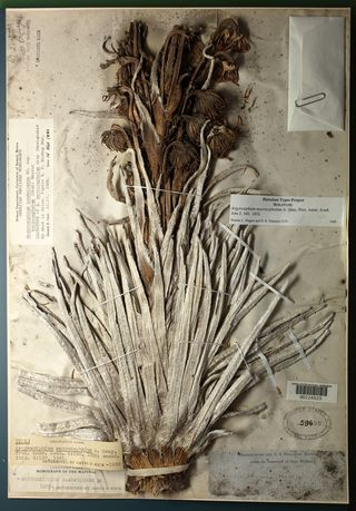 The first botanical treasure is the holotype of Argyroxiphium macrocephalum (US 59690).
