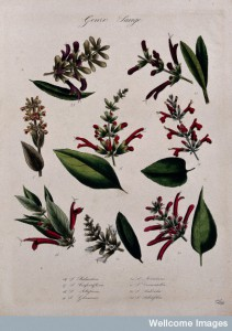Seven different types of sage (Salvia species): Credit: Wellcome Library, London.