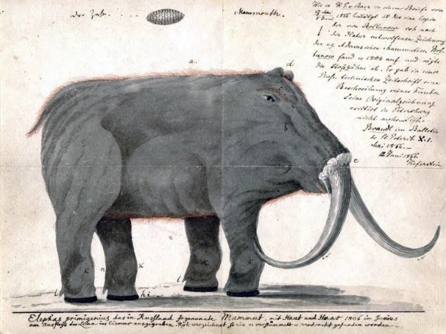 Drawing of an early 19th century attempt at a mammoth restoration. Note the upside-down tusks. (Image: WikiCommons/Public Domain)