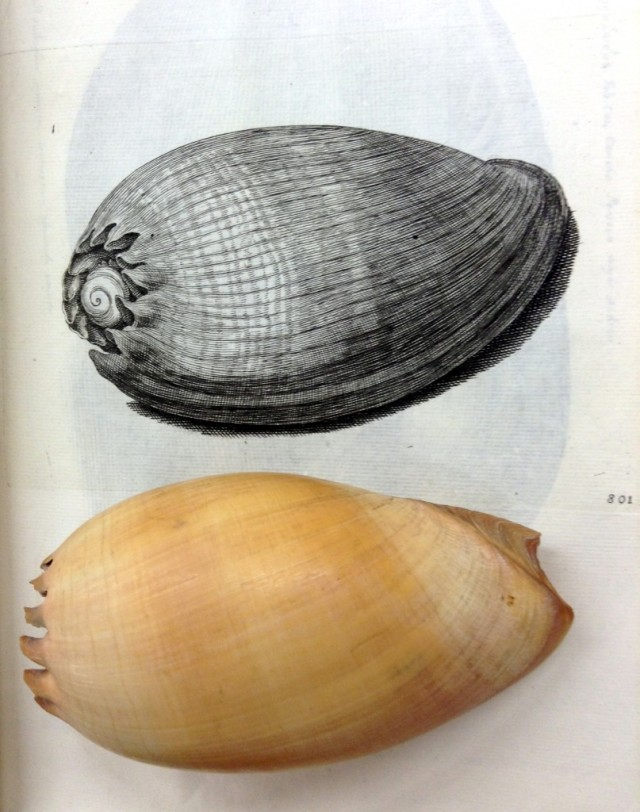 Melo aetheopica, Sloane 2374, Natural History Collection next to its portrayal by Susanna Lister in the Historiae, Table 801. Note she altered the perspective so it is possible to see the distinguishing characteristic of the umbilicus. Photo by Anna Marie Roos, © The Natural History Museum, London.