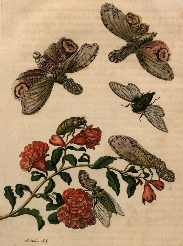 Maria Sibylla Merian, Plate 49 from 'Metamorphosis Insectorum Surinamensium' (1705) (courtesy Universitätsbibliothek Johann Christian Senckenberg, Frankfurt)