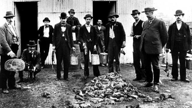 Rat catchers with a pile of dead vermin in Sydney in 1900. Rats were fetching up to six pence a head during the outbreak. Picture: State Library of NSW