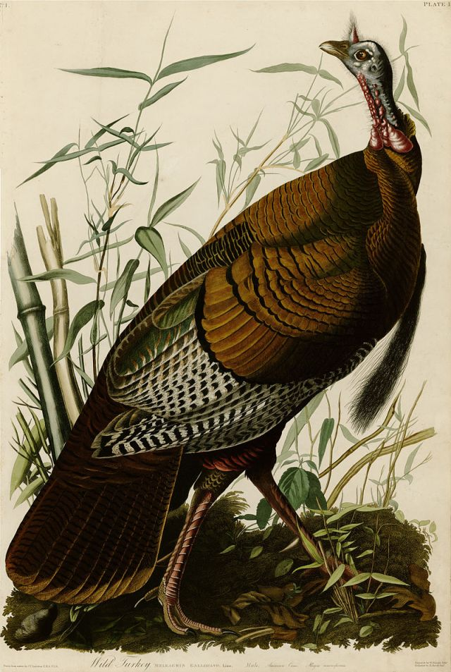 Plate 1 of Birds of America by John James Audubon depicting a wild turkey. Source: Wikimedia Commons