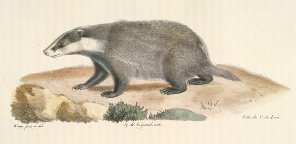 A badger, as illustrated in Histoire Naturelle des Mammiféres, 1824-57. (1257.l.1-4)
