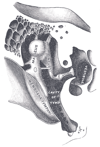 "Cross-section of the inner ear, showing the ossicles–mallelus, incus, and stapes. Illustrated by Henry Vandyke Carter for Henry Gray, ""Anatomy of the Human Body "" (Philadelphia & New York: Lea & Febiger, 1918), plate 919."