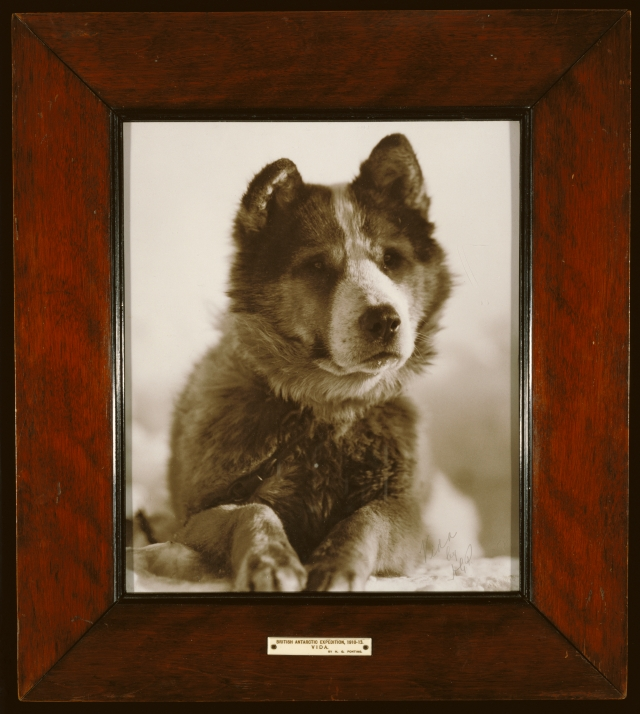 "Herbert G. Ponting (British, 1870 - 1935) ""Vida"", one of the best of the dogs used by Capt. Smith on his South Pole Expedition (1910 - 1913)., about 1912, The J. Paul Getty Museum, Los Angeles"