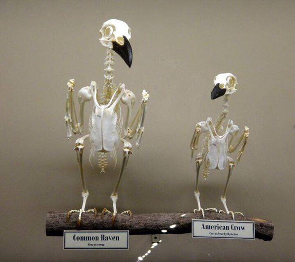 Sometimes I'm asked what is the difference between a raven and a crow, well here it is. h/t @ravenstonetales