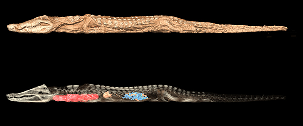 CT scans of a mummified crocodile with mummified infant crocodiles on its back. From Kom Ombo, Egypt, 650–550 BC.