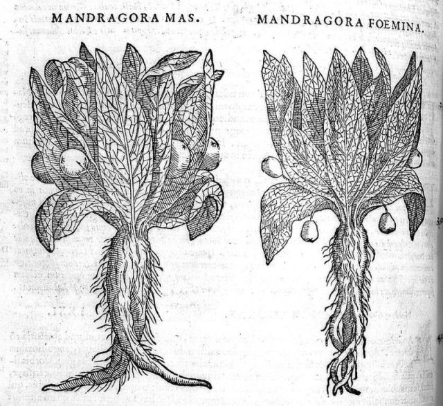 A woodcut of two mandrake plants. (Photo: Wellcome Images, London/CC BY 4.0)