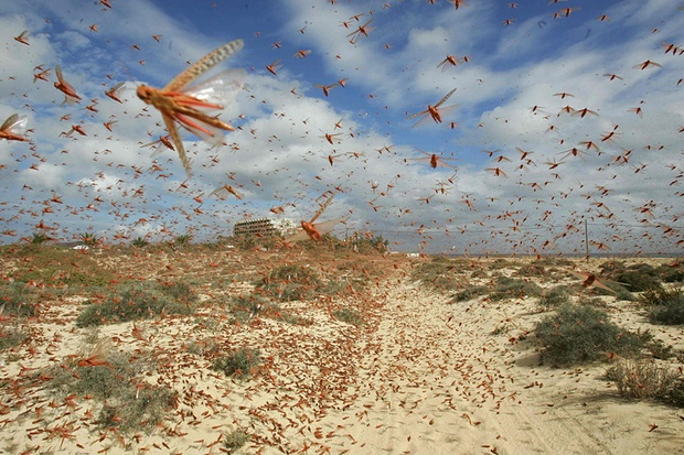 Insect nation … a swarm of locusts flies over a beach in the Canary Islands. Photograph: Carlos Guevara/Reuters