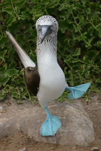 Courting dance of the Blue Foote Booby