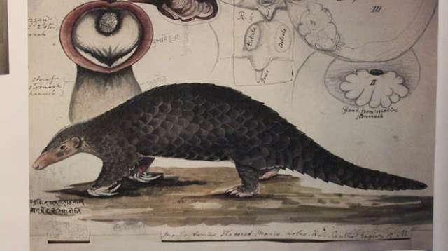 Pangolin illustration on display at ZSL London Zoo