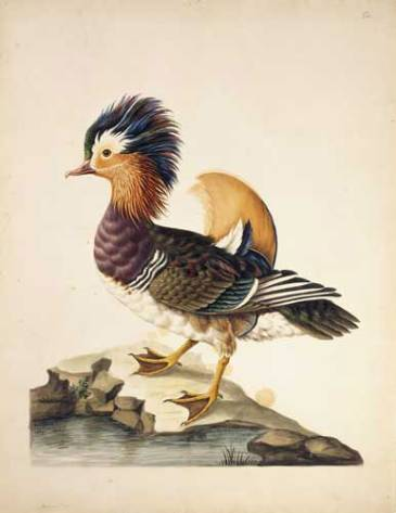 """Mandarin duck, Aix galericulata. Sarah Stone, 1788."" NHM Picture Library Ref 024290"
