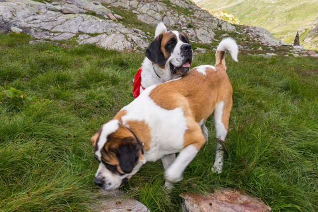Dogs of the St. Bernard Hospice during a walk organized by their trainers with tourists. (MicheleVacchiano/iStock)
