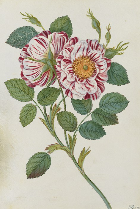 Watercolour on vellum by James Bolton. Bolton was born in West Yorkshire, England and was the son of a weaver. He was a self- taught botanist, artist and engraver. His brother Thomas Bolton (1722-1778) was also a naturalist. James Bolton was highly successful as a mycologist and author of several botanical books including the first British book on fungi. James and Thomas Bolton were both sponsored by the art and natural history collector Margaret Cavendish Bentinck, Duchess of Portland (1715-1785). Painting date c.1790s.