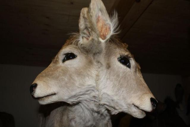 A two-headed calf from an Austrian taxidermy collection.