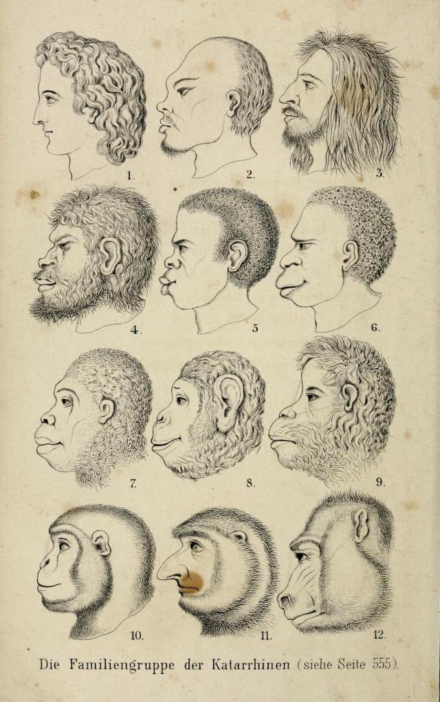 The notorious frontispiece comparing heads of human races and apes in the Natürliche Schöpfungsgeschichte (1868), Haeckel's gospel of evolution