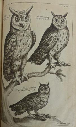 A mini parliament of owls from Willughby's Ornithologiae (1676)