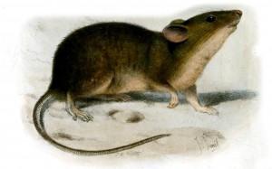 St Kilda House Mouse