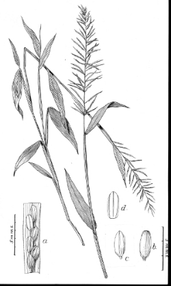 Illustration of Paspalum scabriusculum, by Agnes Chase (1902). Image courtesy of Hunt Institute for Botanical Documentation