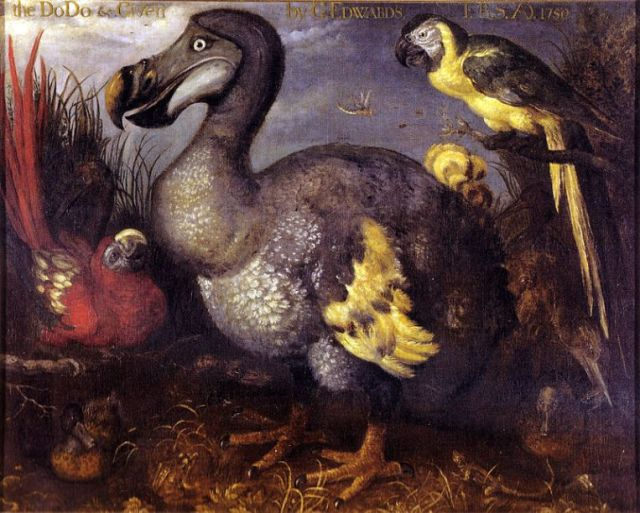 Painting of the Dodo by Roelandt Savery executed in ca. 1626 and held at the NHMUK, London.