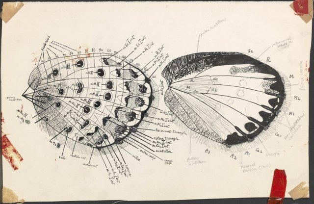 A detailed wing schematic. (Vladimir Nabokov. Courtesy of the Vladimir Nabokov Archive at the Berg Collection, New York Public Library, used by permission of The Wylie Agency LLC.)
