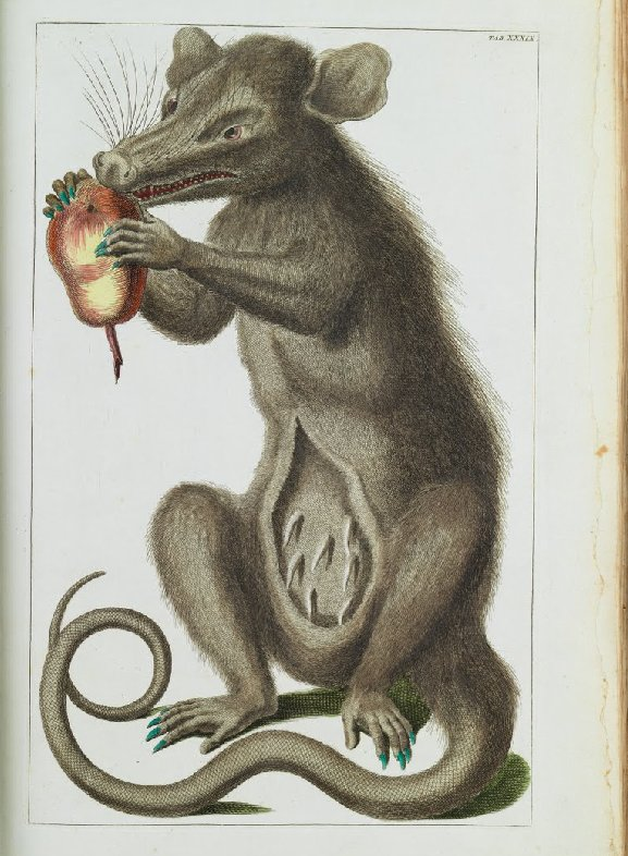 Albertus Seba, The Opossum, Didelphimorphia, 1734