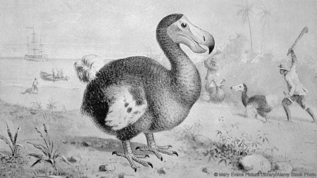 Sailors supposedly killed dodos by beating them with sticks (Credit: Mary Evans Picture Library/Alamy Stock Photo)