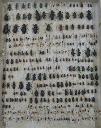 Part of Darwin's Beetle Collection
