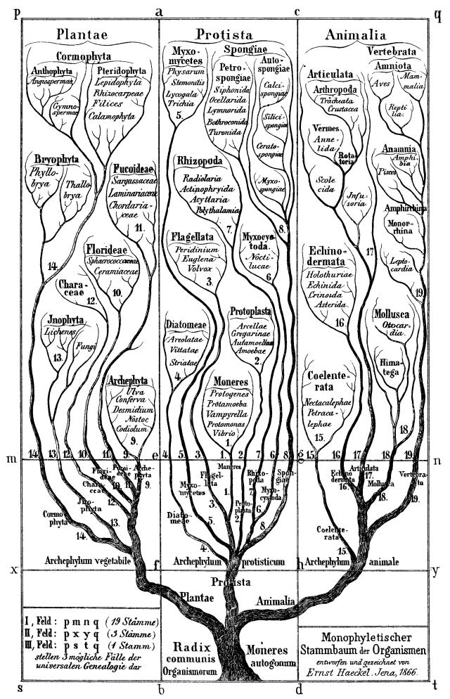 Haeckel, E. H. P. A. (1866).Generelle Morphologie der Organismen : allgemeine Grundzüge der organischen Formen-Wissenschaft, mechanisch begründet durch die von C. Darwin reformirte Decendenz-Theorie.