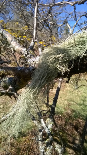 The wonderously gorgeous sausage lichen, Usnea articulata. Here it is blissfully blowing in the gentle summer breeze. Wonderful to spot one on a branch in a tree, and the branch is also home to many more lichen species.