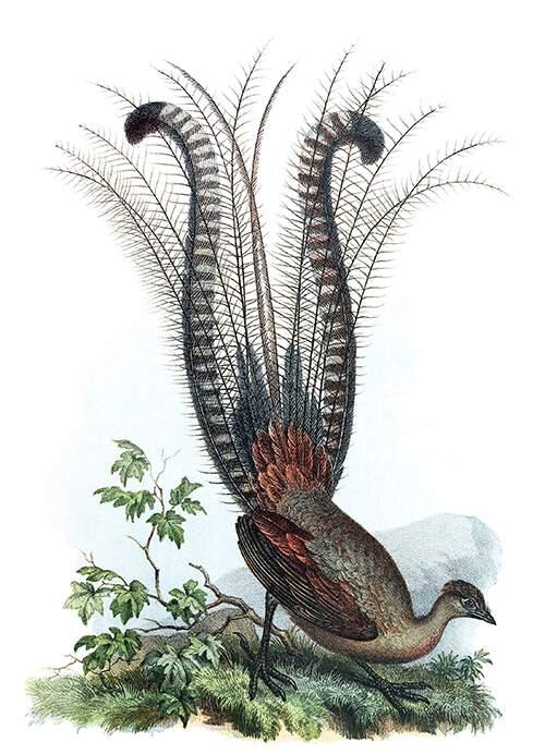 Der neuhöllandische Leiervogel (Menura superba). Bilder-atlas zur Wissenschaftlich-populären Naturgeschichte der Vögel in ihren sämmtlichen Hauptformen